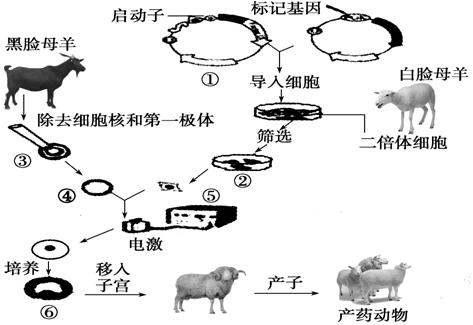 如图是培养生产人生长激素的转基因动物的过程,请据图回答下列问题