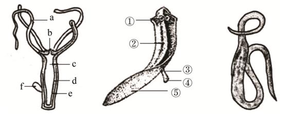 2.如图是水螅,涡虫和蛔头的结构示意图,请据图分析回答.
