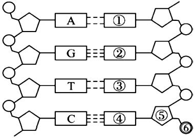 4.如图为dna分子结构模式图,据图回答下列问题