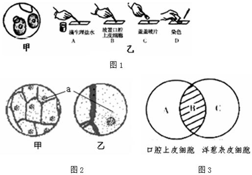 为探究动植物细胞结构的异同,用洋葱鳞片叶,人的口腔上皮细胞等材料做