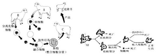 (填细胞结构) (2)变形虫实验告诉我们,细胞的控制中心是细胞核(填细胞