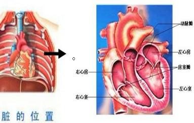 如图:心脏的位置和结构如图:人的心脏位于胸腔中部偏左下方,夹在