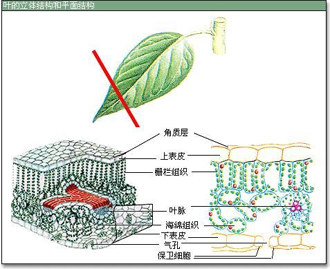 植物体能调节蒸腾作用,控制气体进出叶片的结构是( )