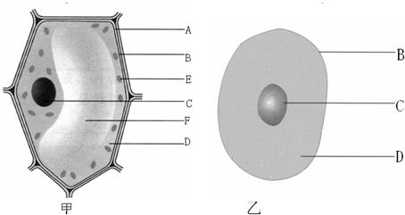 初中生物 题目详情  (1) 甲 甲(填甲或乙)是植物细胞结构模式图,因它