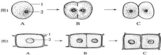 (1)图1显示 动物 动物细胞的分裂过程,图2显示 植物 植物细胞的分裂