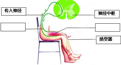 膝跳反射的原理_膝跳反射