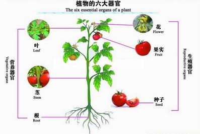 如图:其中植物的六大器官中,根,茎,叶与植物体生长过程中的营养物质的图片