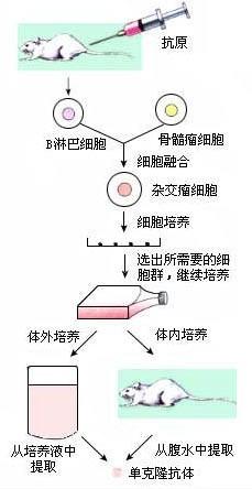 b,干细胞是动物胚胎及其某些器官中具有自我复制和多向分化潜能的