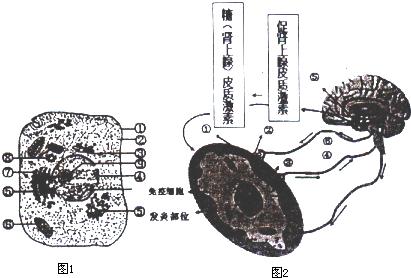 下图l是人体细胞亚微结构模式图,图2是神经,内分泌和免疫系统的相互
