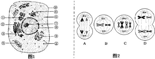 (4)若图1所示为人体皮肤生发层细胞(一种体细胞),则该细胞可能会发生