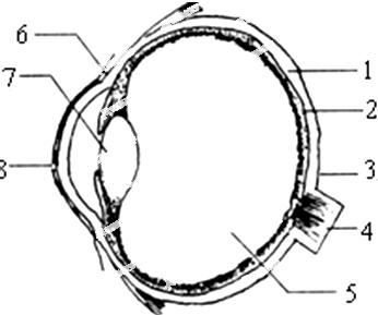 眼球结构中的 相当于照相机的镜头,能调节物象的清晰度.