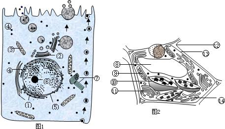 如图1甲,乙为细胞亚显微结构模式图,请据图回答