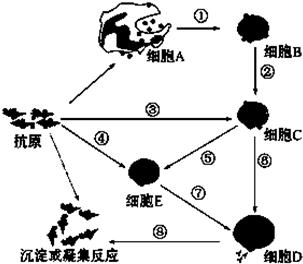如图是人体体液免疫的模式图,请据图回答