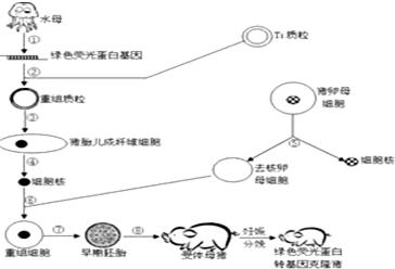 如图为我国首例绿色荧光蛋白转基因克隆猪的培育过程示意图.