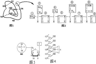 下面是某蛋白质的肽链结构示意图(图1虚线不是肽键连接,其中数字为