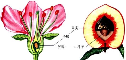 如图是桃花和桃的基本结构示意图.请据图分析回答:(1)