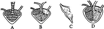 如图是各类脊椎动物心脏示意图,从四个示意图看,脊椎动物进化顺序是图片