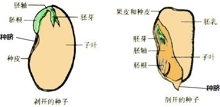 初中生物果实结构图