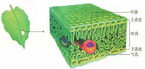 """据图甲一植物细胞分裂.分化过程示意图.图乙一叶片结构示意图.回答:(1)图甲中过程[A]表示 .其结果是 ,过程[B]表示 .其结果是 .(2)图乙中的[1]主要由图甲中的[ ] 组成.[2]主要由图甲中的[ ] 组成.[3]主要由图甲中的[ ] 组成.(3)植物体与外界进行气体交换的""""窗口 是[ ] .(4)叶片正面颜色比背面颜色深的主要原因是 . 题目和参考答案--精英家教网--"""