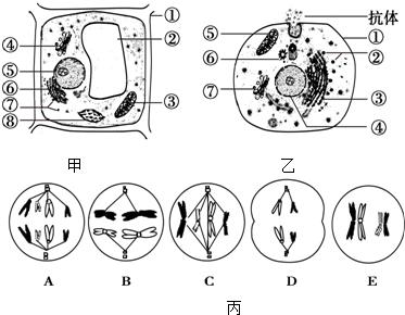 植物和动物细胞的亚显微结构模式图,图丙为某生物体内细胞分裂示意图.