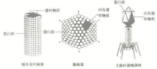 解答:解:病毒是一类结构十分简单的微生物,它没有细胞结构,主要有蛋白质的外壳和内部的遗传物质组成.病毒个体极其微小,借助于电子显微镜才能看到;病毒的营养方式为寄生,必须寄生在其他生物的活细胞里才能生活;病毒通过自我复制的方式繁殖后代. 所以病毒无细胞结构,只由蛋白质外壳和内部的遗传物质组成