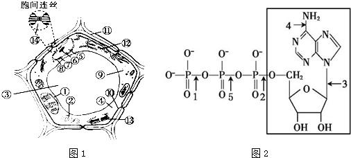 图1是细胞亚显微结构模式图,图2是atp的分子结构式.请据图回答