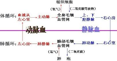 如图是人的呼吸和血液循环关系示意图,请据图回答图片
