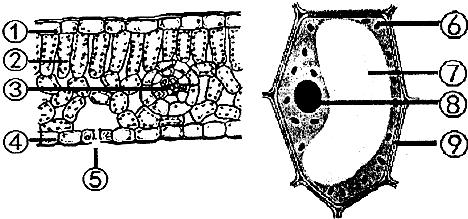 如图是小芬同学在显微镜下观察到的叶片结构图.请据图回答.