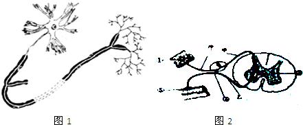 如图1为神经元结构模式图和图2膝跳反射结构图.据图回答