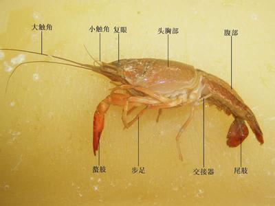 初中生物 题目详情  考点:节肢动物 蝗虫的主要特征 专题: 分析:甲壳