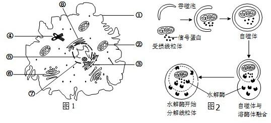 解答: 解(1)若图1细胞是叶肉细胞,则不应有中心体,但是具有细胞壁、液泡和叶绿体等结构. (2)图1中具有选择透过性膜的结构有细胞膜、线粒体、高尔基体、核膜、内质网,而核糖体、中心体以及染色体没有膜结构. (3)蛋白质的合成场所为核糖体. (4)溶酶体除了能够吞噬衰老的细胞和细胞器外,还具有免疫作用,即能够吞噬消化病原体. (5)自噬体内的物质被水解后,其产物的去向是排出细胞外或被细胞利用.由此推测,当细胞养分不足时,细胞自噬作用会增强,从而将大分子物质分解成小分子物质供细胞吸收利用. 故答