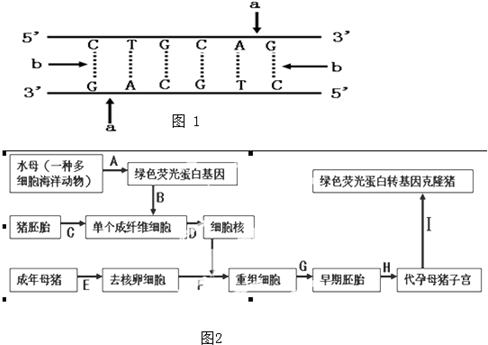 如图2表示我国首例绿色荧光蛋白转基因克隆猪的具体培育过程.