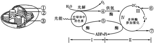 如图分别是叶绿体模型图和绿色植物光合作用过程图解,请据图回答.