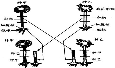 高中生物 题目详情  (1)上述实验的大体过程是: ①将甲种伞藻的部分