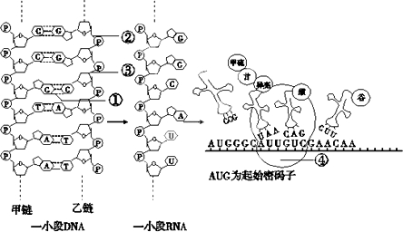 乳酸杆菌         b.噬菌体         c.染色体         d.hiv.