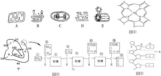 图中A~E是从几种生物细胞中分离出来的5种细胞器,图是三种有机物结构示意图,图中的甲表示某蛋白质的肽链结构示意图(其中数字为氨基酸序号),乙表示其部分肽链放大图,请回答下列问题([]内填字母,横线上填细胞器的名字):