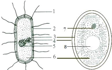 如图为细菌和酵母菌的结构示意图,据图回答下列问题