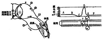 PCNA是一类只存在于增殖细胞中的蛋白质.其