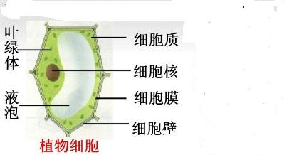 是构成生物体结构和功能的基本单位,植物细胞的基本结构分为