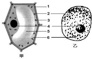 如图是植物细胞和动物细胞比较图,请据图回答
