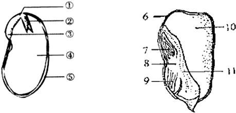 如图是菜豆种子和玉米籽粒的纵剖面结构图,请据图回答