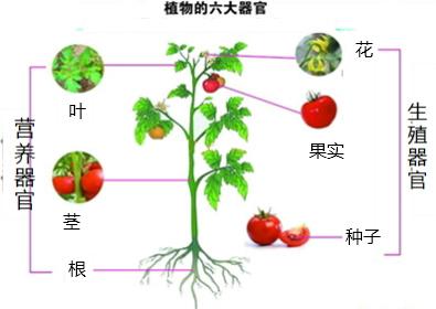 绿色开花植物由根,茎,叶,花,果实,种子六大器官组成.如图