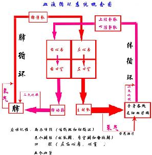 (1)体循环:血液由左心室进入主动脉,再流经全身的各级动脉,毛细血管图片