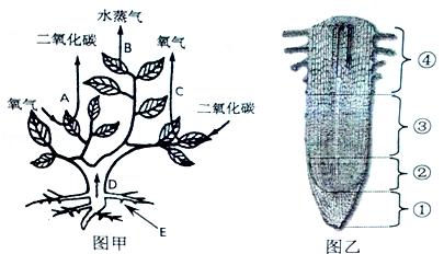 图甲表示发生在植物体内的某些生理过程,图乙为该植物根尖结构示意图