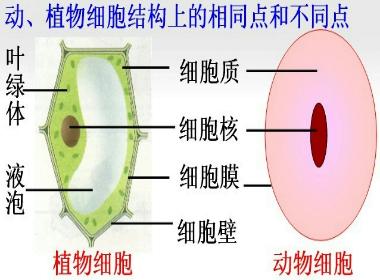 动,植物细胞的基本形状和结构是一样的.