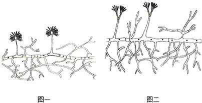 如图是霉菌的结构图,请填空.