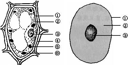 如图为植物细胞和动物细胞结构比较图,请回答