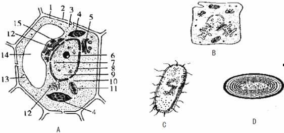 高中生物 题目详情  (1)以上4个图中属于原核细胞的是  ,能进行光合