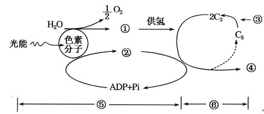 如图是 白菜一甘蓝 杂种植株的培育过程.下列说法正确的是A.图示 白菜 甘蓝 植株不能结籽 B.愈伤组织的代谢是自养需氧型 C.上述过程中包含着有丝分裂.细胞分化和减数分裂等过程