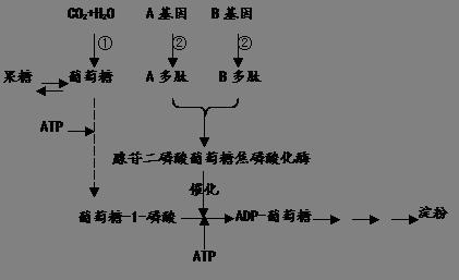 高中生物 题目详情  (16分)下图是玉米(核染色体2n=20,雌雄同株)细胞